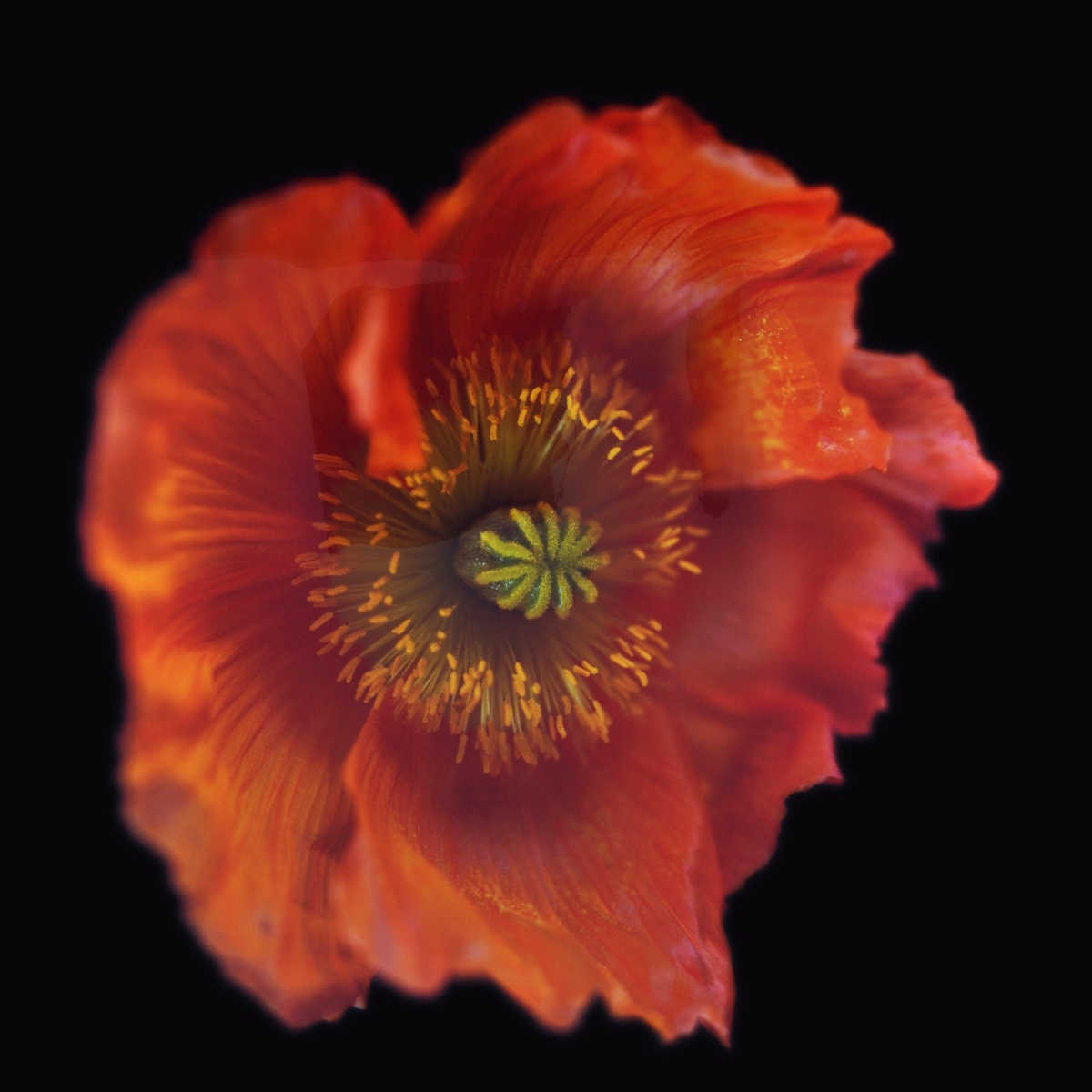Rob and Nick Carter - RN1178, Icelandic Poppy, Orange, 2018 · © Copyright 2019