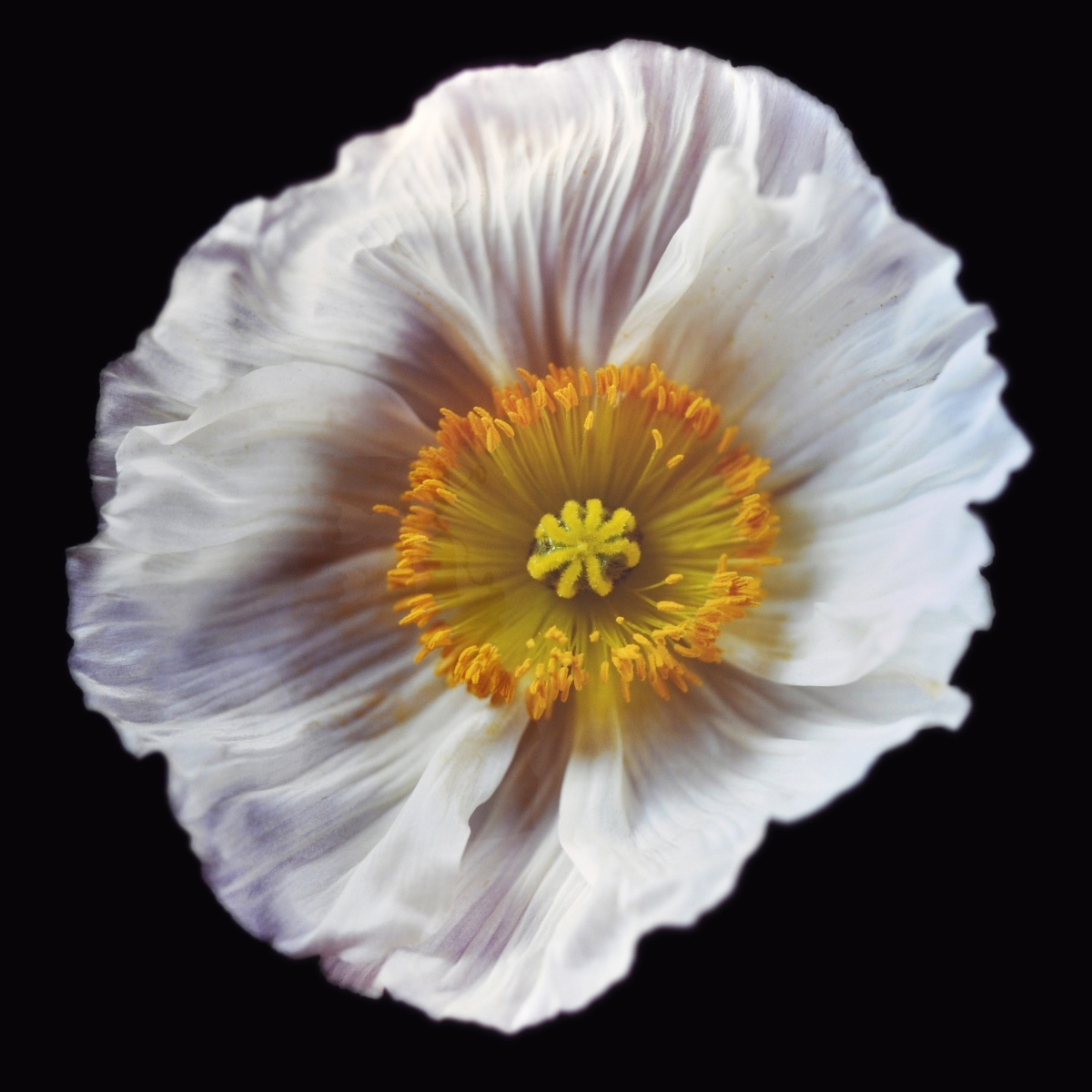 Rob and Nick Carter - RN1180, Icelandic Poppy, White, 2018 · © Copyright 2020
