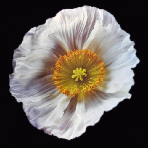 Rob and Nick Carter - RN1180, Icelandic Poppy, White, 2018 · © Copyright 2019