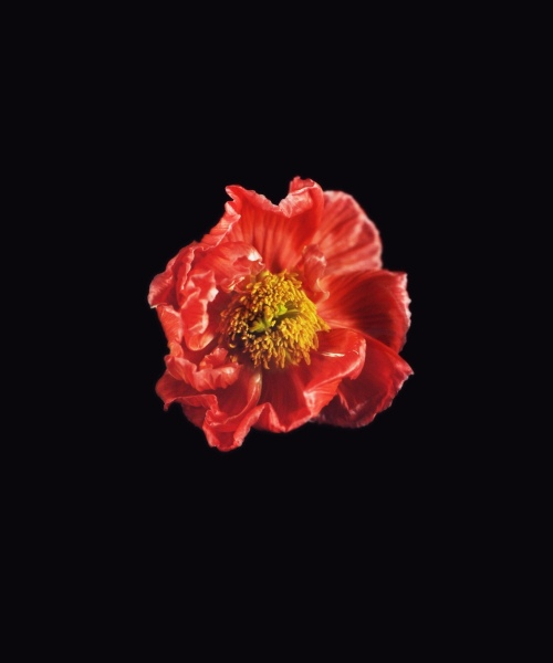 Rob and Nick Carter - RN1181, Icelandic Poppy, Red, 2018 · © Copyright 2019