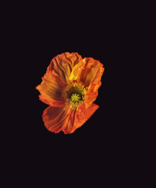 Rob and Nick Carter - RN1182, Icelandic Poppy, Orange, 2018 · © Copyright 2019