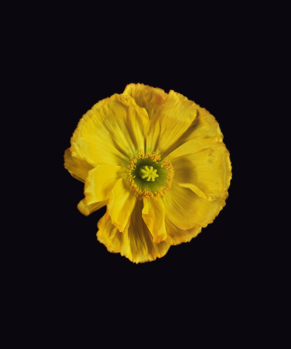 Rob and Nick Carter - RN1183, Icelandic Poppy, Yellow, 2018 · © Copyright 2020