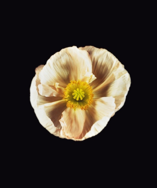 Rob and Nick Carter - RN1185, Icelandic Poppy, White, 2018 · © Copyright 2019